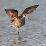 7430 Marbled Godwit (Limosa fedoa), Galveston Island, Texas