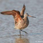 7431 Marbled Godwit (Limosa fedoa), Galveston Island, Texas
