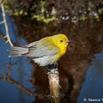 7433 Prothonatory Warbler (Protonotaria citrea), Galveston Island, Texas
