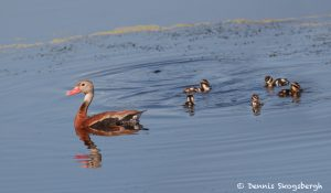 7435 Black-bellied Whistling Ducks (Dendrocygna autumnalis), Galveston Island, Texas