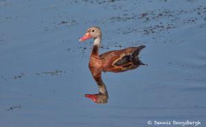 7436 Black-bellied Whistling Duck (Dendrocygna autumnalis), Galveston Island, Texas