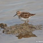 7439 Adult Breeding Least Sandpiper (Calidris minutilla) -necked, Galveston Island, Texas