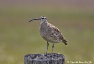 7440 Whimbrel (Numenius phaeopus), Galveston Island, Texas