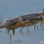 7441 Alligator, Anahuac NWR, Texas