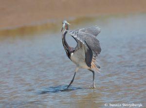 7442 Tricolored Heron (Egretta tricolor), Galveston Island, Texas