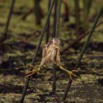 7447 Least Bitern (Ixobrychus exilis), Anahuac NWR, Texas