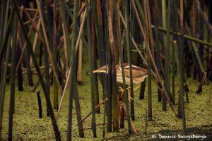 7448 Least Bitern (Ixobrychus exilis), Anahuac NWR, Texas