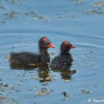 7450 Common Gallinule Chicks (Gallinula galeata), Anahuac NWR, Texas