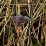 7453 Green Heron (Butorides virescens), Anahuac NWR, Texas