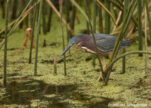 7454 Green Heron (Butorides virescens), Anahuac NWR, Texas