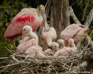 7455 Roseate Spoonbill (Platalae ajaja) with Chicks, Smith Oaks Rookery, High Island, Texas