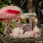 7461 Roseate Spoonbill and Chicks (Platalea ajaja), Smith Oaks Rookery, High Island, Texas