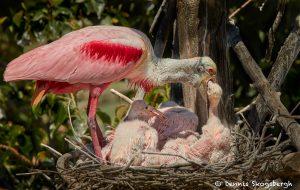 7461 Roseate Spoonbill and Chicks (Platalea ajaja), Smith Oaks Rookery, High Island, Texas