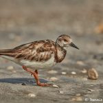 7463 Breeding Female Ruddy Turnstone (Arenaria interpres), Galveston Island, Texas