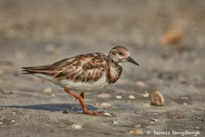 7463 Breeding Female Ruddy Turnstone (Arenaria interpres), Galveston Island, Texas