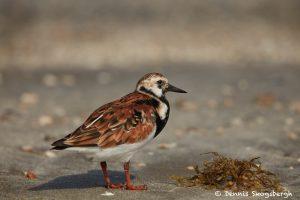 7464 Breeding Male Ruddy Turnstone (Arenaria interpres), Galveston Island, Texas