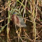 7465 Green Heron (Butorides virescens), First Summer, Anahuac NWR, Texas