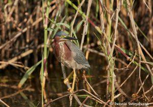7465 Green Heron (Butorides virescens), First Summer, Anahuac NWR, Texas