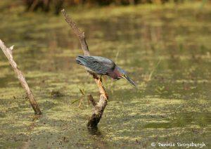 7466 Green Heron (Butorides virescens), First Summer, Anahuac NWR, Texas