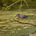 7467 Green Heron (Butorides virescens), First Summer, Anahuac NWR, Texas
