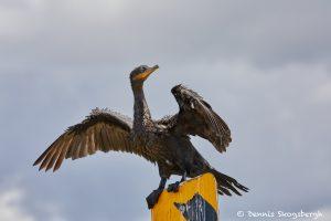 7473 Double-crested Cormorant (Phalacrocorax auritus), Anahuac NWR, Texas