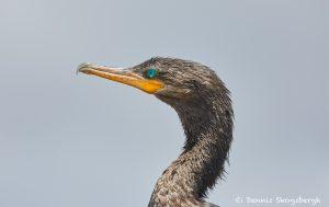 7474 Double-crested Cormorant (Phalacrocorax auritus), Anahuac NWR, Texas
