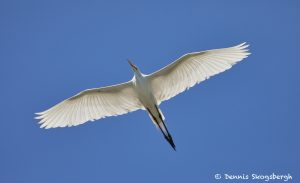 7477 Great Egret (Ardea alba), Smith Oaks Rookery, High Island, Texas