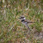 7478 Killdeer Chick (Charadrius vociferus), Rollover Pass, Bolivar Peninsula, Texas