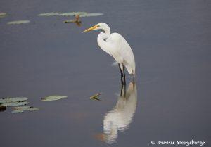 7480 Great Egret (Ardea alba), Anahuac NWR, Texas
