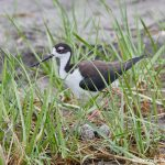 7481 Black-necked Stilt Nest (Himantopus mexicanus),Bolivar Peninsula, Texas