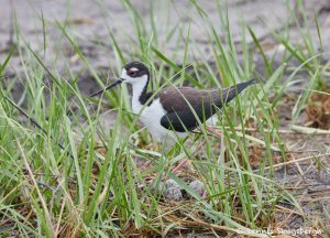 7481 Black-necked Stilt Nest (Himantopus mexicanus),Bolivar Peninsula, Texas
