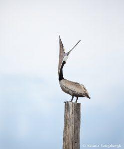 7482 Brown Pelican (Pelicanus occidentalis), Bolivar Peninsula, Texas