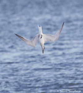 7483 Sandwich Tern (Thalasseus sandvicensis), San Luis Beach, Texas