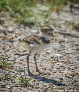 7484 Killdeer Chick (Charadrius vociferus), Rollover Pass, Bolivar Peninsula, Texas