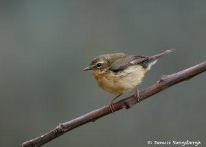 7489 Female Black-throated Blue Warbler (Setophaga caerulescens), Galveston Island, Texas