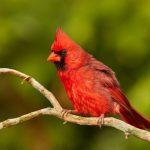 7490 Northern Cardinal (Cardinalis cardinalis), Galveston Island, Texas