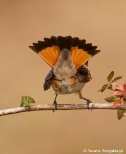 7492 American Redstart (Setophaga ruticilla), Galveston Island, Texas