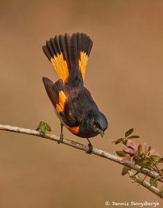7493 American Redstart (Setophaga ruticilla), Galveston Island, Texas