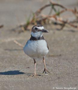 7494 Breeding Wilson's Plover (Charadrius wilsonia), East Beach, Galveston Island, Texas
