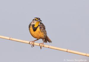 7495 Eastern Meadowlark (Sturnella magna), Galveston Island, Texas