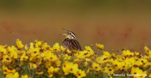7496 Eastern Meadowlark (Sturnella magna), Galveston Island, Texas
