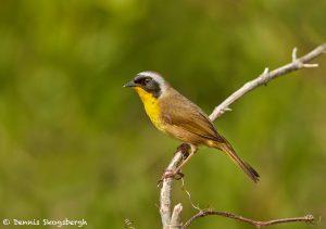 7499 Male Common Yellowthroat (Geothlypis trichas), Galveston Island, Texas