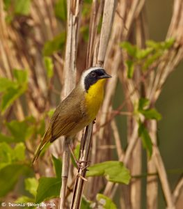 7500 Common Yellowthroat (Geothlypis trichas), Galveston Island, Texas