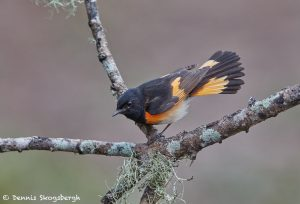 7502 Male American Redstart (Setophaga ruticilla), Galveston Island, Texas