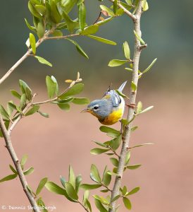 7513 Northern Parula (Setophaga americana), Galveston Island, Texas