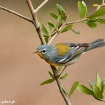 7514 Northern Parula (Setophaga americana), Galveston Island, Texas