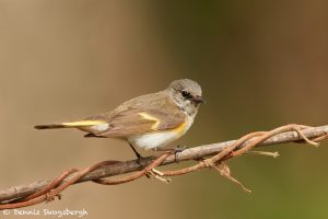 7517 Female American Redstart (Setophaga ruticilla), Galveston Island, Texas
