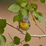 7518 Northern Parula (Setophaga americana), Galveston Island, Texas