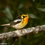 7520 Adult Male Breeding Blackburnian Warbler (Setophaga fusca), Galveston Island, Texas