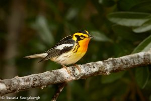7520 Adult Male Breeding Blackburnian Warbler (Setophaga fusca), Galveston Island, Texas